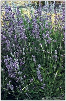 Herbs: The Natural Insect Repellent