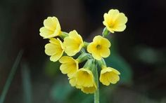 Chelsea Flower Show: The yellow oxlip (Primula elatior)
