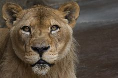 Lioness at the San Diego Zoo