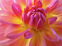 FLORAL ART Prints DAHLIA Flower Giclee Artwork Baslee Troutman Photograph  DAHLIA Flower Giclee Artwork Baslee Troutman Fine Art Print