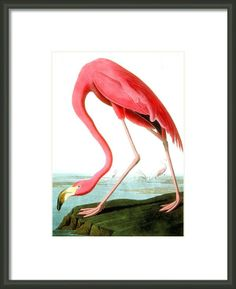 American Flamingo Framed Print By John James Audubon