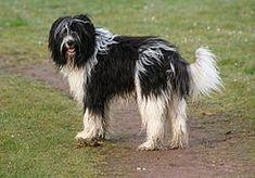 El Schapendoes es una raza de perro proveniente de los Países Bajos. Originariamente fue criado como perro pastor y en general de granja