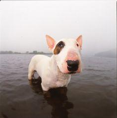 A bull terrier in water Photograph  - A bull terrier in water Fine Art Print