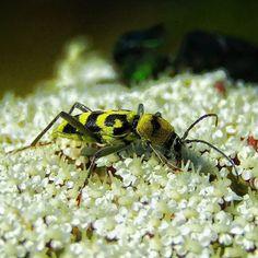 Tiger  #insect #bugs #bug #naturelover #macro #closeup #wildlife #beautiful #mediterranean #yellow #sunnyday #animal #zoo #myphoto #igphoto #instabug #tiny #small #earth #insectsofinstagram #natureaddict