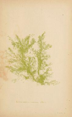 B. Whidden, Sea mosses, Boston,1893.