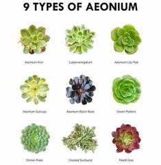 succulent garden care Succulent Pictorial Guide - 9 Types Of Aeonium Identifying Succulents, Types Of Succulents Plants, Cacti And Succulents, Planting Succulents, Cactus Planters, Types Of Flowers, Aeonium Kiwi, Succulent Names, Plant Guide