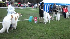 NATIONAL DOG SHOW IN JAUNMARUPE.RUSSKI BORZOI. National Dog Show, Greyhounds, Pets, Videos, Animals, Animales, Animaux, Animal, Animais