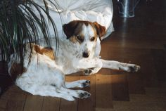 Lilly Jack-Russel Beagle Mix | Pawshake