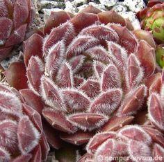 Sempervivum 'Pink Puff'