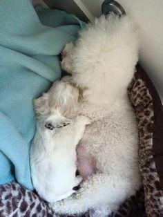 True love - Mummy bichon cuddling her baby bichon