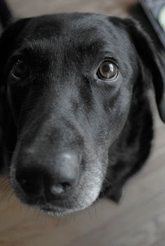 This is just like my lab, gray snout and all.