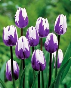 Purple tulips flowers ~ Dreamy Nature