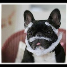 """""""What the Ho, Ho ,Ho happened to my face?"""", French Bulldog in Santas' Beard for Christmas."""