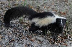 How to Get Rid of Skunks & Keep Them Away Permanently