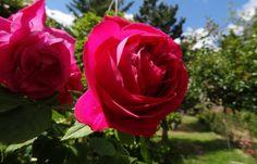 Lyon: Ce que vous réserve le premier festival mondial des roses - 20minutes.fr