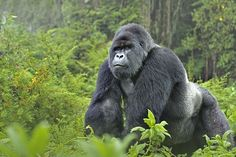 Gorilla trekking safari in Uganda. Wildlife Safari in Uganda. Enjoy budget Gorilla trekking Uganda safari tours coupled with amazing wildlife, culture, birding safaris in Uganda. Primates, Mammals, Dian Fossey, Gorilla Story, Gorilla Gorilla, Gorilla Tattoo, Silverback Gorilla, Gorilla Trekking, Afrique Art