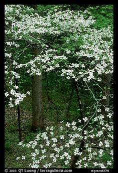 Dogwood tree with white blooms, Tennessee. Great Smoky Mountains National Park