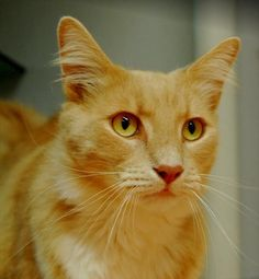 *Adoption Crisis* our shelters are at capacity across the state so please adopt me for just $20 this month! I'm Max, a gorgeous ginger cat at the #GoldCoast #RSPCA staying in foster care. I'm sweet boy with nothing but love to give. If you would like to meet me, please contact the adoption centre on 55756246 or email miamiadoptions@rspcaqld.org.au (ID 527645) #adoptapet #cat #gingercat #rspcaqld #rescuepet #AdoptDontShop