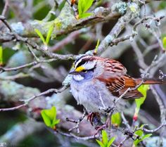 White-throated Sparrow by Dave Posaas on Capture Wisconsin // White-throated Sparrow  are you pondering life's meaning so contemplative and day dreaming? there there little white-throated sparrow! lost your nest in some farmer's furrow? Oh I know maybe I project, that maybe there are things to forget, but let me say in your own cute way, in sparrow speak I bet you have a lot to say. about nature's rule upon your stay and all the dangers you slay. yes life is harsh and sometimes not, but ther...