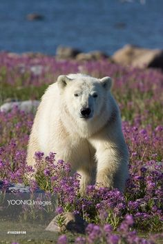 Polar Bear (Ursus maritimus) male in a field of fireweed, Hudson Bay, Canada Bay Canada, Hudson Bay, Polar Bear, Mammals, Wildlife, Stock Photos, Illustration, Bears, Image