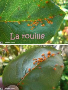 la rouille Permaculture, Garden Online, Plants, Garden, Plant Leaves, Planters, Rose, Flowers, Nature