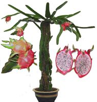 1000 Images About Growing Tropical Fruit In Containers On