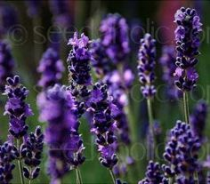 The deepest purple of all lavenders is 'Hidcote' is a compact variety, suitable for growing in borders or as dwarf hedging.