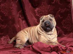 Fotos de perros de raza shar carótida