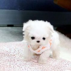 Teacup Poodle Puppies, Yorkie Puppies For Adoption, Maltese Puppies For Sale, Puppies Near Me, Cavapoo Puppies, Terrier Puppies, Baby Puppies, Teacup Maltese For Sale, Teacup Dogs