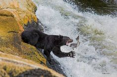 Black bear salmon fishing by Helen Watt – Verney Falls, BC Animals Beautiful, Cute Animals, Arctic Animals, Wild Animals, Whitetail Deer Pictures, Cute Bear, American Bull, Bear Pictures, Salmon Fishing