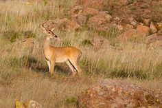 Whitetail Buck 8-23-14 / Aug.