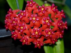 Hoya Benguetensis by Kalantikan is featured for #FlowerFriday!