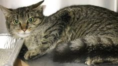 URGENT! Greenville, SC * Intake: 5/7 Available: 5/13 NAME: Mayflower  ANIMAL ID: 27768332 BREED: DSH  SEX: Female  EST. AGE: 2 yrs  Est Weight: 5.15 lbs  Health: Came in missing her right rear paw!  Temperament: Friendly-She is just scared!!  ADDITIONAL INFO:  RESCUE PULL FEE: SPONSORED!!