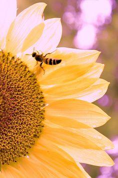 sunflower bee (14)