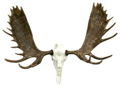 European Bull Moose Skull Mount rustic accessories and decor