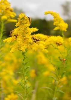 [OC - My Album] Various goldenrods on a cloudy day. Please critique!