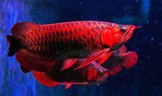 Doanhatao: Arowana : Red