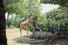 Girafe & Rhinocéros