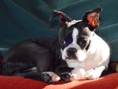 Simon the Boston Terrier just made a cross-country move!