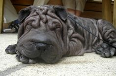 "What is it about a #dog with wrinkles that just makes our heart skip a beat? The Chinese #Shar-Pei is a breed full of physical quirks — a wide ""hippopotamus"" muzzle, triangular ears, a blue-black tongue and, yes, all those snuggly folds of skin."