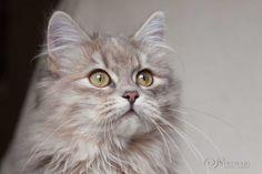 Saria ist ein Deutsch Langhaarkitten in der Farbe blue torbie. Siberian Cat, Long Hair Styles, Cats, Blue, Animals, Cool Cats, Feral Cats, Black Norwegian Forest Cat, Cute Pets