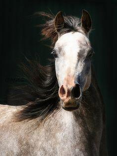 Arabian Horse Arabian Horse Show - Western Competition Egyptian Stallion Breeding