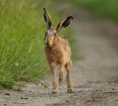 Brown hare / Liebre europea (Lepus europaeus)