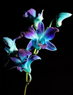 Blue Orchids buy-me-these-flowers-thanks Tropical Flowers, Exotic Flowers, Amazing Flowers, My Flower, Beautiful Flowers, Orchid Flowers, Orchid Tattoo, Flower Tattoos, Blue Dendrobium Orchids