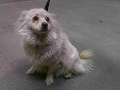 14-27235 Pomeranian • Adult • Female • Medium SEAACA (Southeast Area Animal Control Authority) Downey, CA  Pomeranian White/Tan Impounded on 06/06/2014 from South Gate Available for adoption holds on 06/06/2014. Adoption availability Date 06/11/2014.