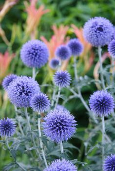 blue thistle flower - Google Search