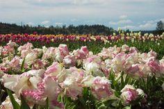 Tulip fields in Puyallup, WA