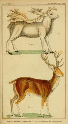 Reindeer and roe deer stag, Cuvier Day