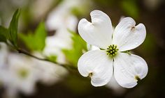 close up photos of single white Dogwood blooms