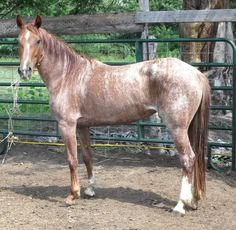 "Beautiful Brindle!    Meet ""Le Tigre"" (appropriately named, might we add), she's a Strawberry Roan White Brindle.. and definitely one of the prettiest Mustangs we've ever seen."